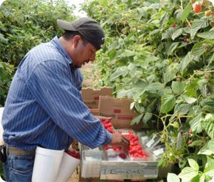 Farm worker picking raspberries