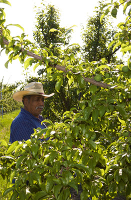 Farmworker behind tree