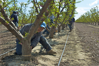 Farmworkers in orchard
