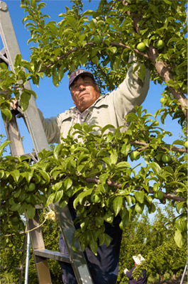 Farmworker on ladder