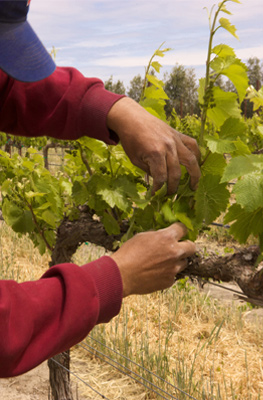 Farmworker ties vine