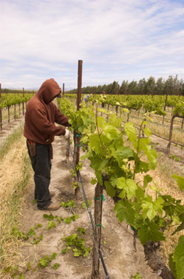 Farmworker ties grapevines to trellis